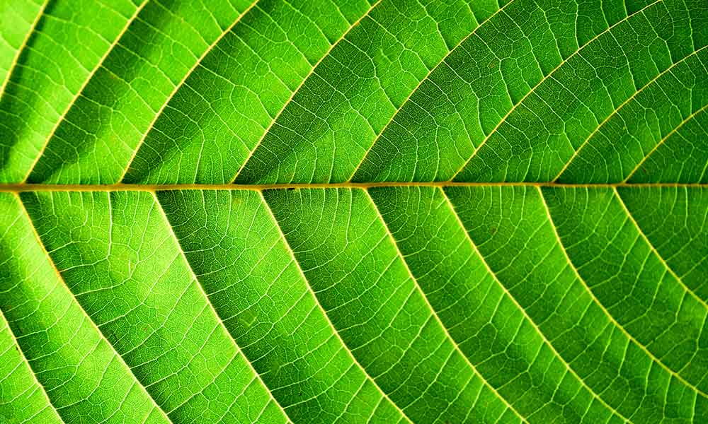 "Kratom: Wonder Leaf, or Deadly Crutch? A Review of ""A Leaf of Faith""."